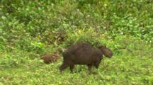 Baby Capybara And Family Eating