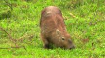 Older Male Capybara- Scent Gland