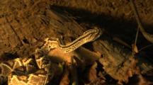 Rattlesnake Hunts Mouse