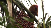 Red Uakari Monkey Eats Aguaje Fruit