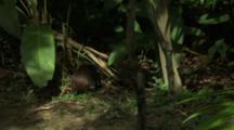 Agouti- Jungle Rat