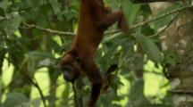 Juvenile Howler Monkey Swings In Tree