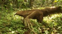 Giant Anteater In Forest