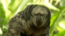 Saki Monkey In Forest