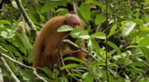 Red Uakari Monkey Feeds On Aguaje Fruit