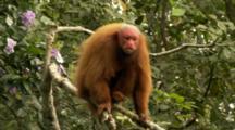 Red Uakari Monkey Balances In Tree, Looks Around