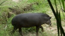 Tapir Feeds In Forest