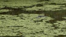 Spectacled Caiman In Pond