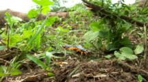 Giant Centipede On Forest Floor