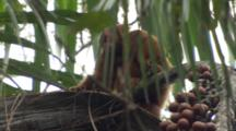 Red Uakari Monkey Feeds In Tree Canopy