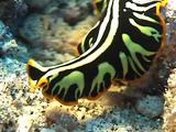 Tiger Flatworm Extends Itself While Moving