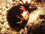 Crab Carries Collector Urchin To Eat