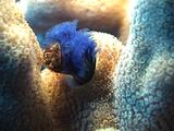 Christmas Tree Worm, Emerges, Retracts