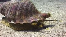 Triton's Trumpet, Snail, Marine Snail