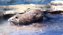 Nutria Swimming Shallow Water