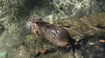 Nutria Swimming/Wading Approaches Stream Bank