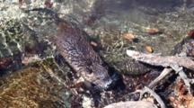 Nutria Swimming/Wading, Approaches Camera