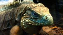Large Green Iguana Stares At Camera, Bobbing Head