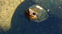 Freshwater Turtle Head, Pullback Reveals Body