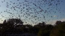 Tilt From Bats Emerging From Cave, To Sky Filled With Bats