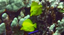 Yellow Tang, Goldring Tang Cleaned By Juvenile Cleaner Wrasse