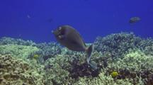 Bluespine Unicornfish On Coral, Swims Up Off Reef