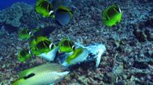 Variety Reef Fish Nibbling On Mahi Mahi Carcass(Closer)
