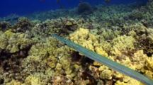 Pr Cornetfish Cruise Reef For Food