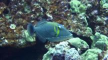 Lei Triggerfish Swims, Spits Out Bits Of Coral From Feeding