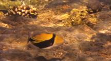 (Reef, Picasso) Trigger Swims Shallow Water