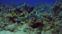 Bullethead And Palenose Parrotfish Feed On Coral