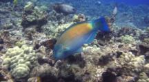 Bullethead  Parrotfish Feeds On Coral