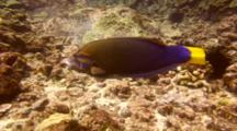 Yellowtail Wrasse Looking For Place To Feed