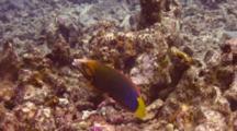 Yellowtail Wrasse Striking Rocks To Break Urchin In Mouth