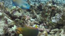 Yellowtail Wrasse, Bullethead Parrotfish Hunting In Coral Rubble