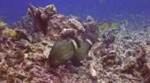 2 Adult Rockmover Wrasses Moving Chunks Coral Rubble