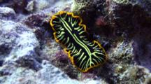 Tiger Flatworm Glides Over Coral Rubble