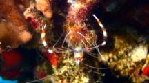 Banded Coral Shrimp Cramming Food In Mouth W/4 Legs