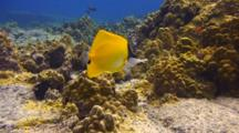 Longnose Butterfly Feeds On Sea Urchin Remains