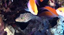 Hawaiian White Spotted Toby Mixes With Anthias In Coralhead