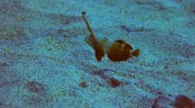 Juvenile Peacock Razorfish Moving, Close To Sand