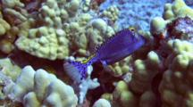 Colorful Male Spotted Boxfish Feeding Among Corals