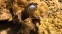 Female Whitley's Boxfish Hunting Among The Corals