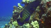 Peacock Grouper, Resting With Eel Swims Over Formation