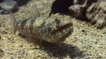 Lizard Fish Immobile, Dorsal Fin Moving