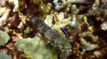 2 Spot Lizardfish Being Cleaned By Juvenile Cleaner Wrasse