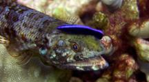 C/U Head, 2 Spot Lizardfish Cleaned By Juv Cleaner Wrasse