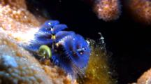 Blue Christmas Tree Worm Out And Feeding