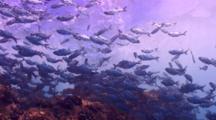 Camera Follows School Hawaiian Flagtails In Surge At Shore