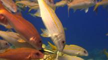 Grp Yellowfin Goatfish Gather For Cleaning By Cleaner Wrasse